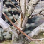 Способы прививки плодовых деревьев