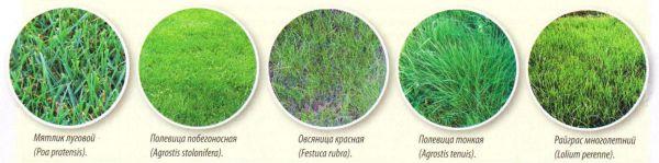 Выбор травосмеси для газона