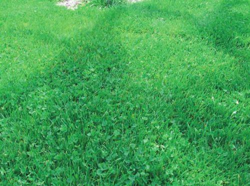 Смешанный газон из клевера и злаков