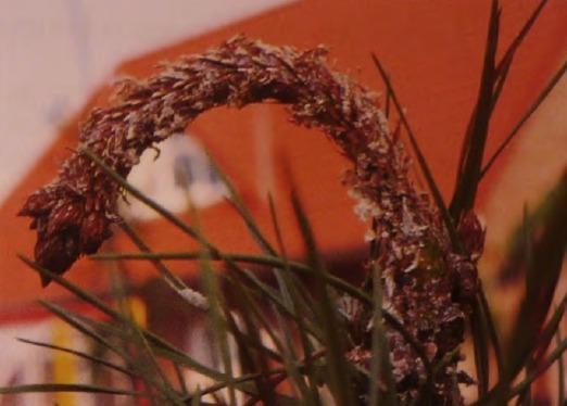 Сосна пораженная листоверткой
