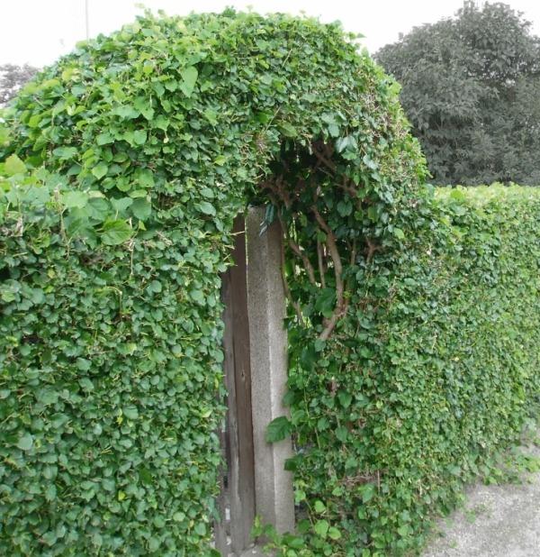 Зеленая арка в живой изгороди