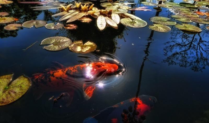 Рыба в искусственном водоеме