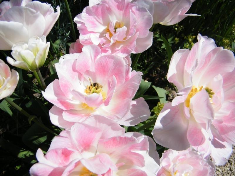 Тюльпаны сорта Angelique