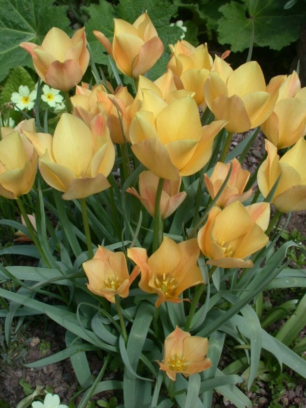 Тюльпаны сорта Apricot Jewel