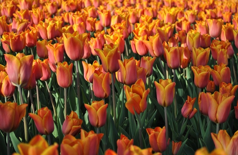Тюльпаны сорта Prinses Irene