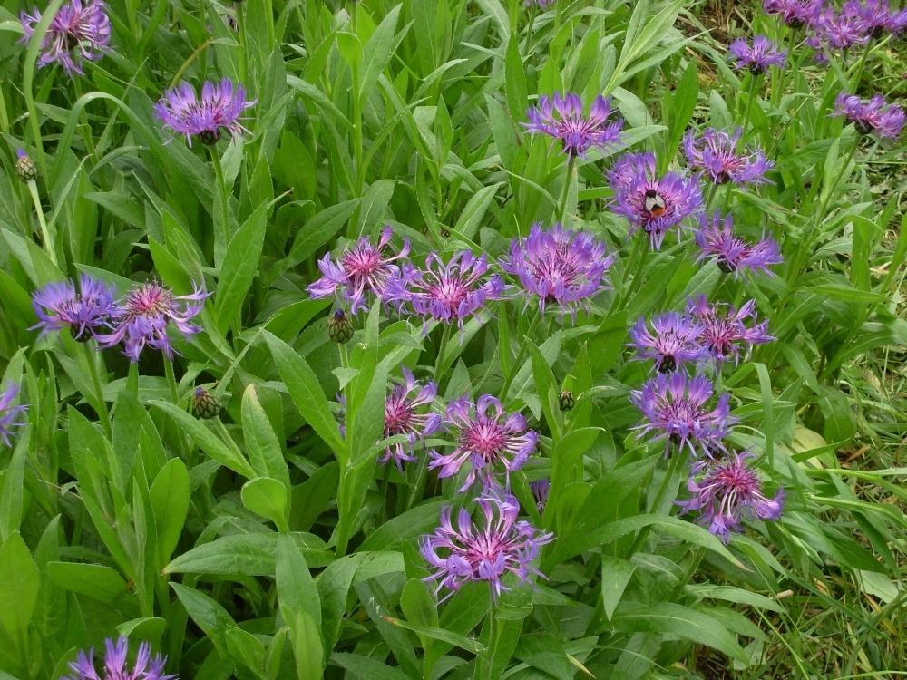 Centaurea montana (василёк горный)