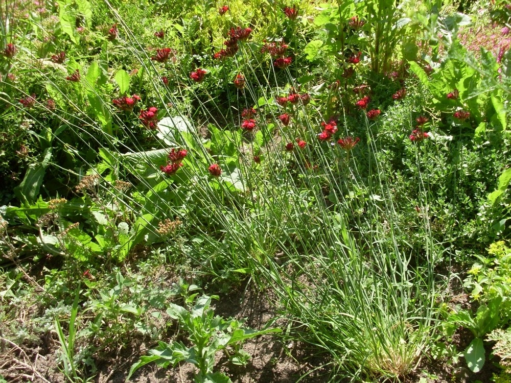 Dianthus (гвоздика)