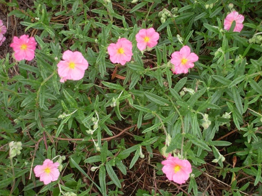 Helianthemum (солнцецвет)