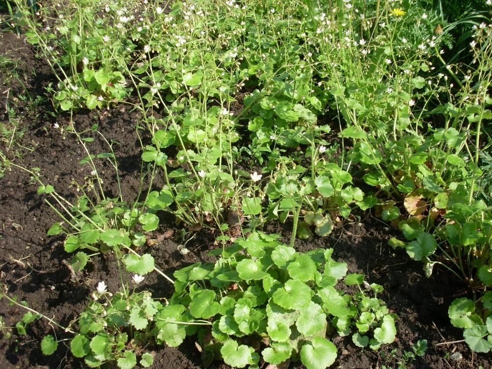Saxifraga rotundifolia (камнеломка круглолистная)