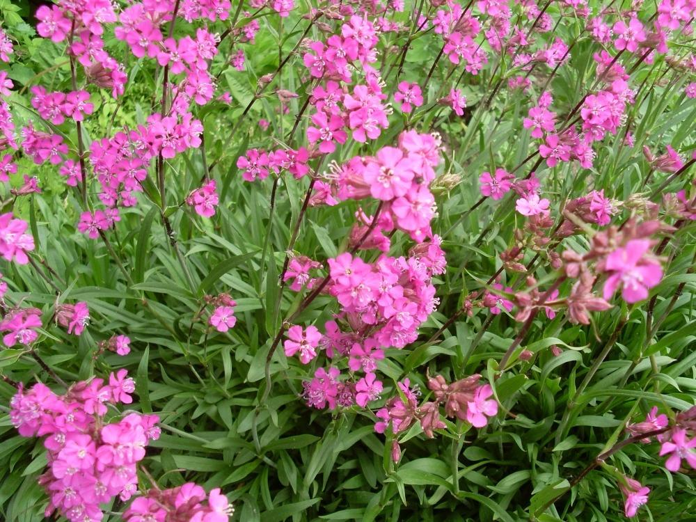 Viscaria vulgaris Splendens (смолка обыкновенная)