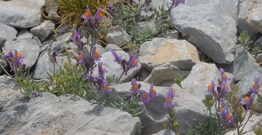 Linaria alpina Miller