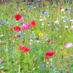Цветущие лужайки. Альтернатива травяным газонам