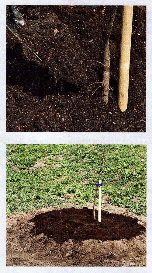 Если на участке высокий уровень грунтовых вод, дерево сажают на холмик
