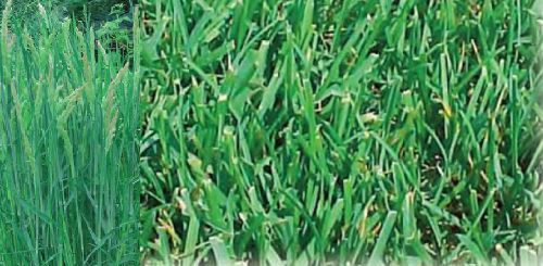 Верховые травы с высокой скоростью роста. Широколиственные травы с высокой скоростью роста часто используются в рулонных газонах.