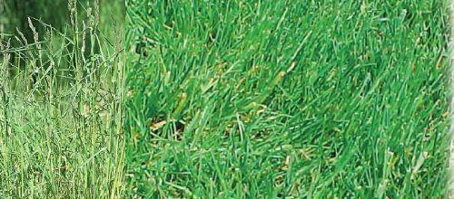 Низовые травы садового газона имеют более узкие листья. Низовые травы с небольшой скорость роста.