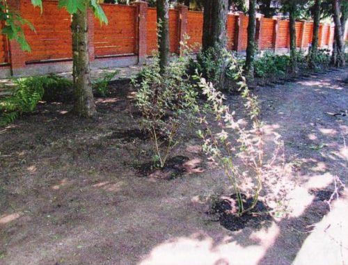 Подготовка участка сводится к планированию материнской почвы и удалению сорняков. Растения высаживают до посева газонных трав.