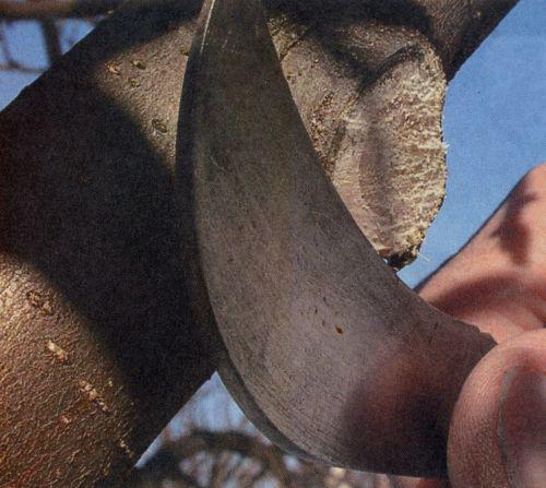 Правильно обрезаем больные и усохшие ветви у плодовых деревьев