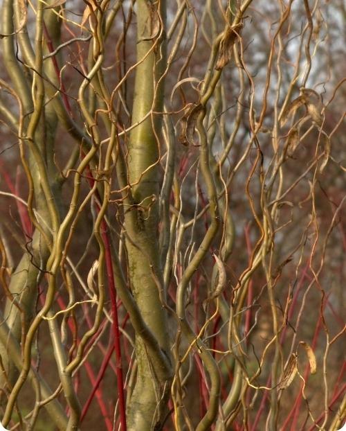 Красота зимнего сада - деревья и кустарники