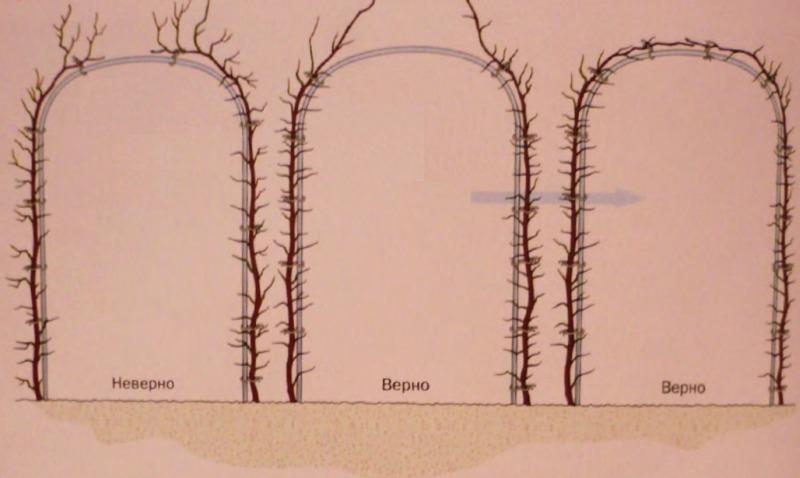 Формирование арки из двух растений