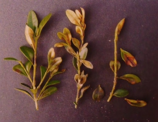 Стадии сброса листвы самшита