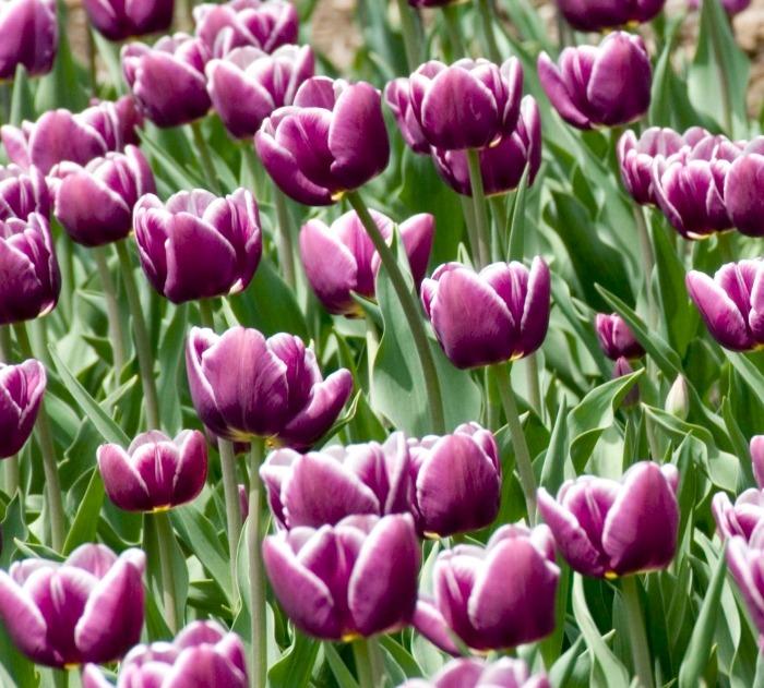 Тюльпаны сорта African Queen