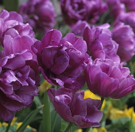 Тюльпаны сорта Blue Diamond
