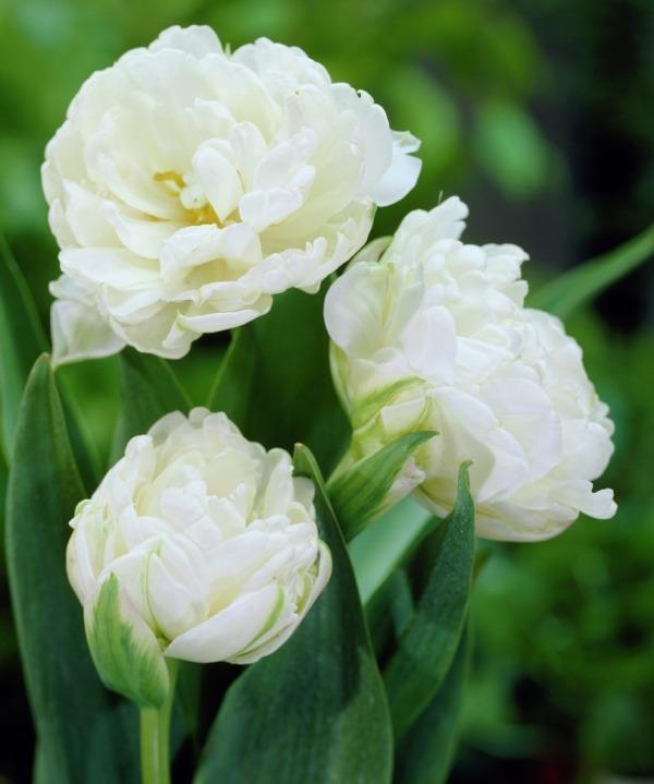 Тюльпаны сорта Mount Tacoma