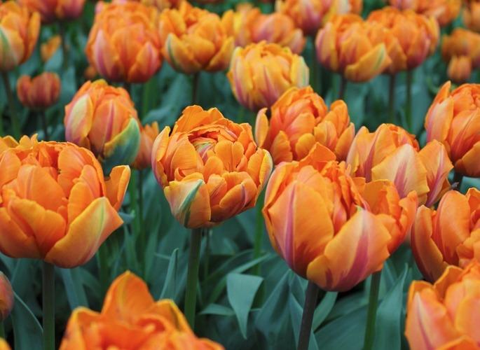 Тюльпаны сорта Orange Princess