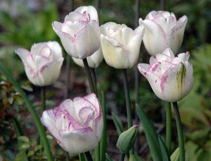 Тюльпаны сорта Shirley