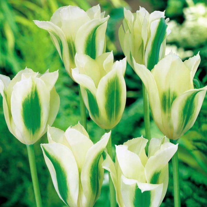 Тюльпаны сорта Spring Green