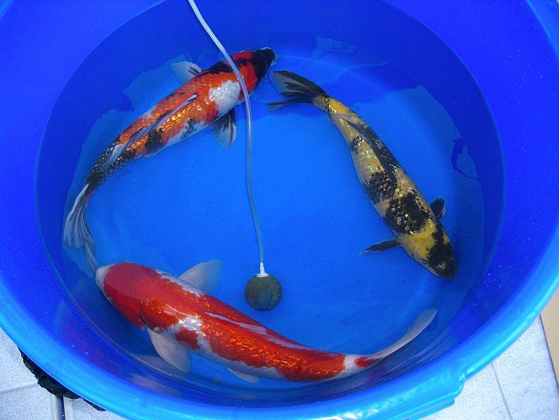Рыбы для садового пруда
