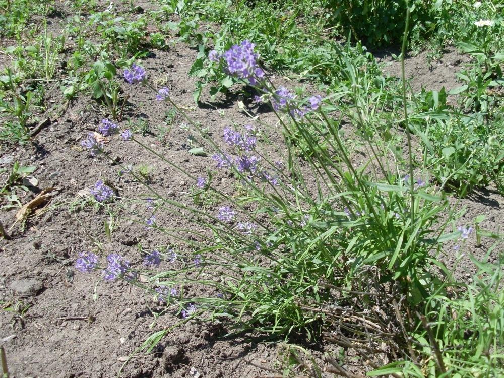 Lavandula angustifolia (лаванда узколистная)
