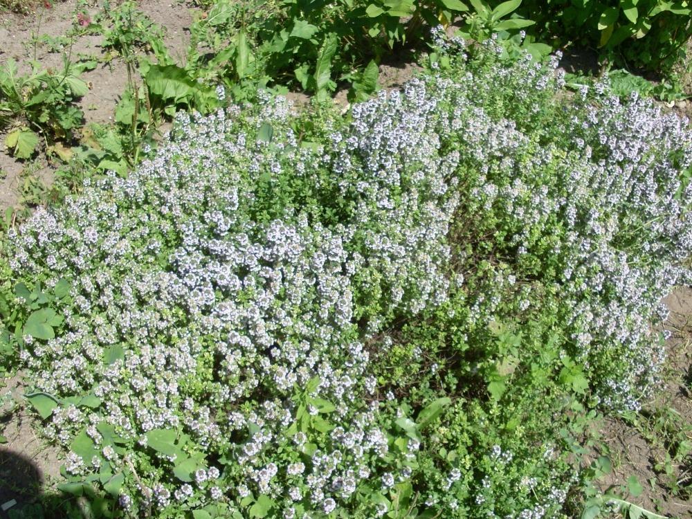Thymus (тимьян)