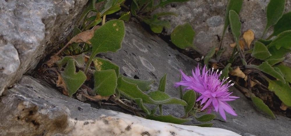 Centaurea montis-borlae Soldano
